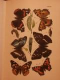 Schmetterlingskunde für Anfänger. Nebst Anleitung zum Sammeln, sowie zur Zucht und Aufebwahrung von Schmetterlingen und Raupen